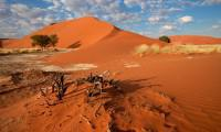 Desert landscape with  grasses, red sand dunes and African Acaci