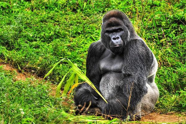 Rwanda Gorilla Trek