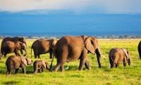 Elephants family and herd on African savanna. Safari in Amboseli