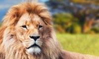 lion3-banner