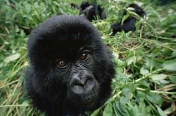 Uganda Gorilla Trek