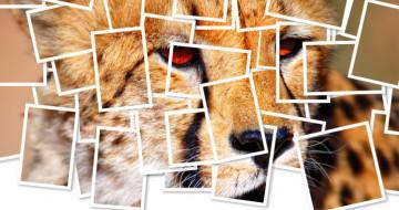 cheetah-header